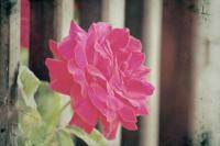 <h2>Vintage rose</h2><p></p>