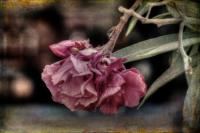 <h2>Vintage carnation</h2><p></p>