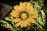 <h2>Vintage sunflower</h2><p></p>