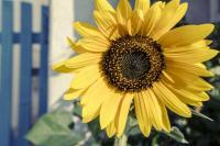 <h2>Sunflower</h2><p></p>