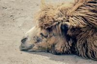 <h2>Camel</h2><p></p>